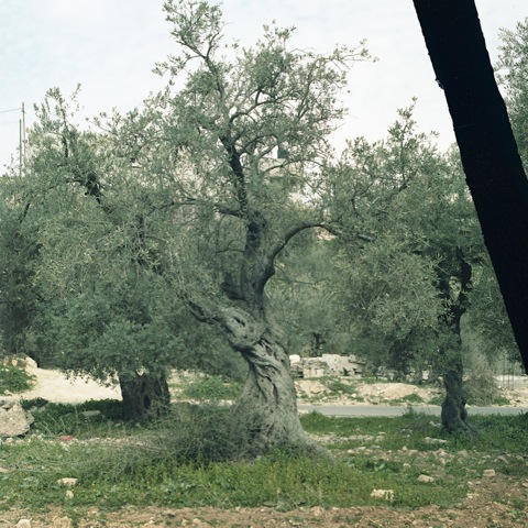 Olive tree, Burqin, north Palestine July 6, 2015. Photo by Bryony Dunne