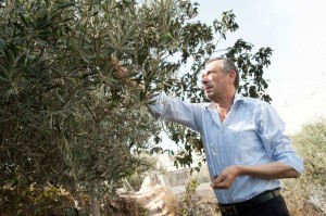 Hashem al-Azzeh harvests his family's olives directly beneath the Israeli settlement of Tel Rumeida in the West Bank city of Hebron in October 2012. (Photo: Ryan Rodrick Beiler ActiveStills.)