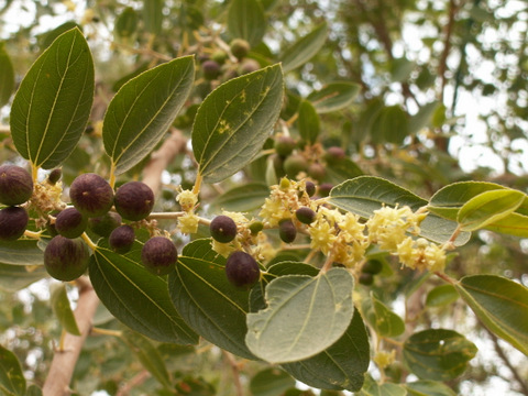 Ziziphus spina-christi, the Christ's Thorn Jujube, an evergreen tree. It grows in Palestine in valleys up to an elevation of 500m. By some traditions, it was the tree from which Jesus' Crown of Thorns was made.  See poem below. (Photo: From Wikimedia Commons, the free media repository.)