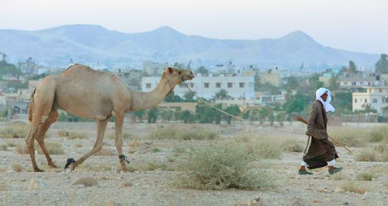 bedouin camel