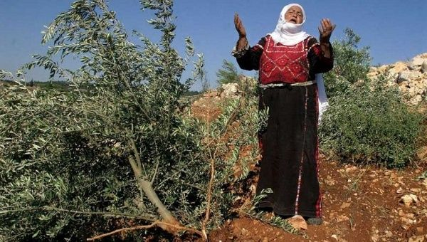 palestine-olive_crop1440007030651.jpg_1718483346